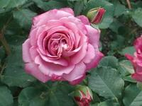 Агнес шилинджер роза